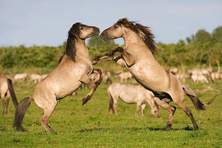 Konik horse, stallions fighting during breeding season.